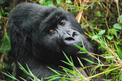 A silverback gorilla photographed by Vacations to Go owner Alan Fox