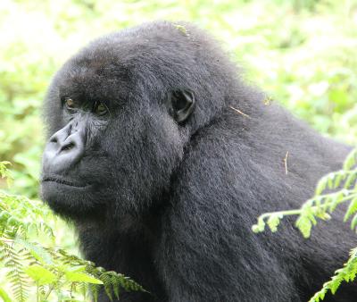 Mountain gorilla mother Tamu
