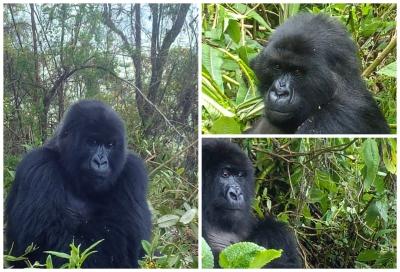 Three female gorillas