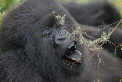 Female mountain gorilla Umutuzo feeding. Photo by Cyril Grueter, Ph.D./DFGFI