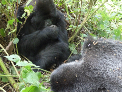 Sub-adult male Inkumbuza sits by Urugamba's body