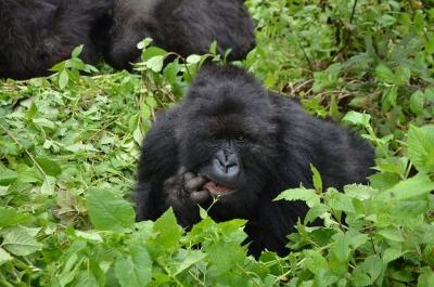 Female Ukuri still with Ugenda group