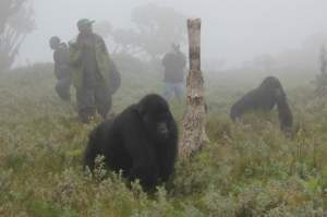 Gorilla Doctors and Fossey Fund staff in the misty Virungas