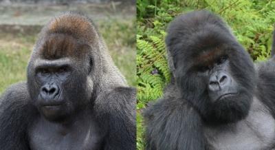 Western and eastern gorillas