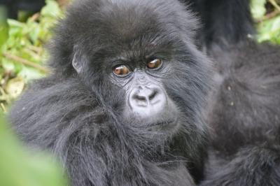 Young male Ntaribi traveling alone