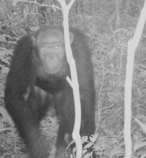 A chimpanzee studies the camera