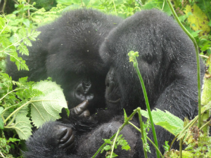 A traveller's view of the gorillas