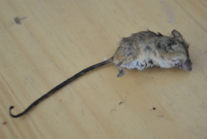 Specimen of a mouse listed in a 1920s survey, found to still inhabit the park