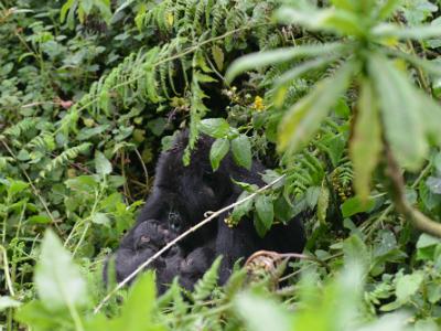 Gorilla twins born this week