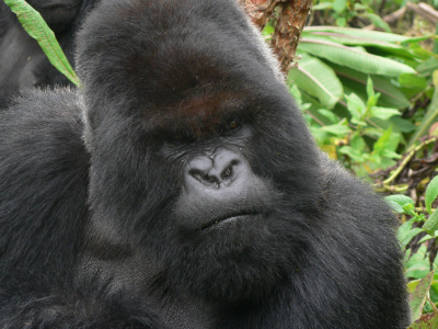 Aging dominant silverback Cantsbee
