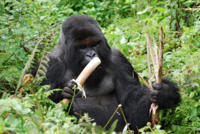 Cantsbee eating bamboo