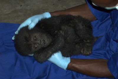 Rescued gorilla in Goma, photo by MGVP