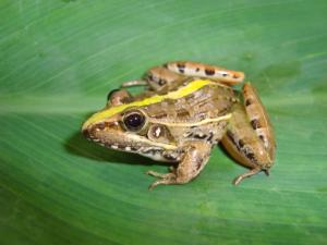 Golden rocket frog