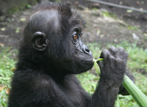 Lubutu eating aframomum, a favorite plant, after the exam