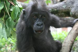 Lubutu Uhuru's first day climbing a tree in Goma