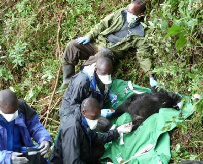 Veterinarians take samples from the anaesthetized Imfura.