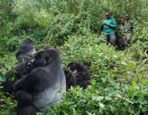 Sosthene Habumuremyi (left) and trackers observe the gorillas.