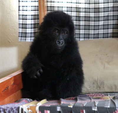 This mountain gorilla infant confiscated from poachers arrived at a care facility in Kinigi, Rwanda on August 7. Photo © N Spagnoletti/DFGFI