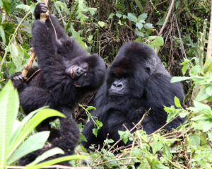 Silverback Cantsbee with playful juvenile companion.