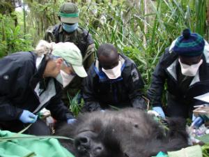 The veterinarians try to help Ntobo.