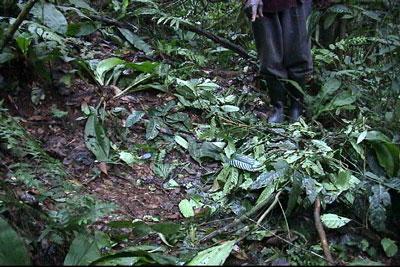 A mountain gorilla night nest