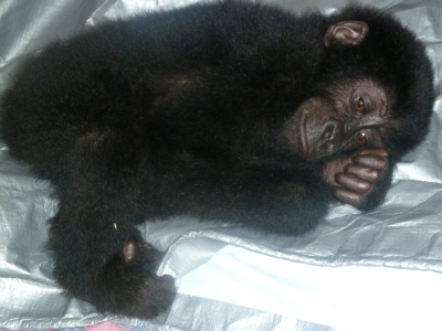 The new  rescued gorilla