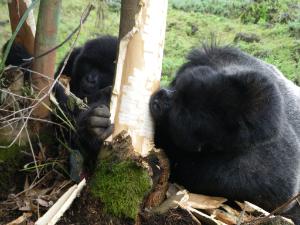 Rano and Ubufatanye eating eucalyptus