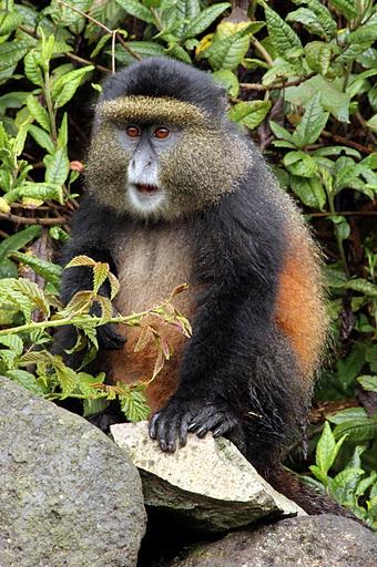 Golden monkey. Photo by Kathleen C. Rautiainen