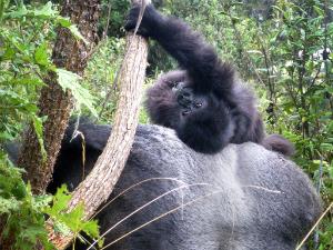 Infant Kezara plays on Isabukuru's back