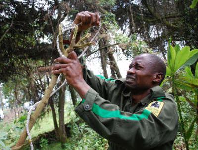 A Karisoke anti-poaching team member dismantles a snare.