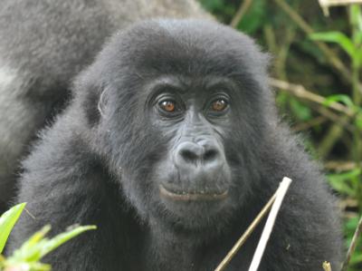 A Grauer's gorilla