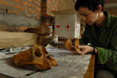 Shannon McFarlin of George Washington University studies a mountain gorilla skull.