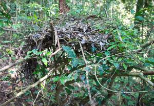 Silverback nest