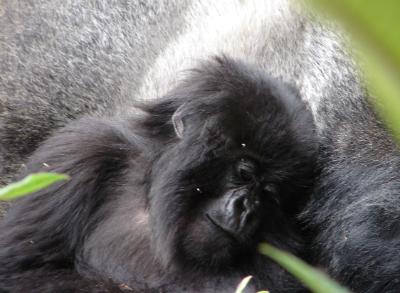 Akarusho snuggles with silverback Inshuti