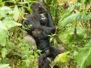 The wounded silverback Inshuti with motherless juvenile Akarusho
