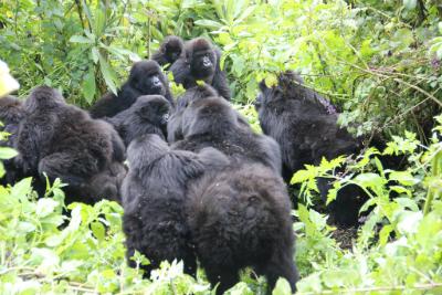 Two mountain gorilla groups interact