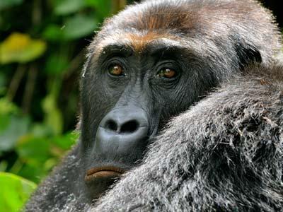 Grauer's gorilla in Democratic Republic of Congo