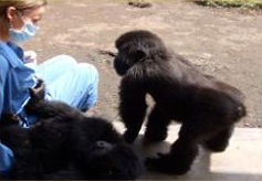 Sandy Jones, Fossey Fund Orphan Gorilla Rehabilitation Manager, monitoring Ndeze and Ndakasi