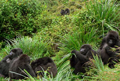 Bukima in her new group, let by Isabukuru. Bukima is the first gorilla on the right.