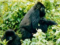 """Several new gorilla births bring hope for the mountain gorillas. Here, Jenny carries her baby Turakora (""""we are working"""") only a few weeks old."""