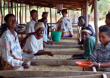Co-op employees sort parchment coffee before milling
