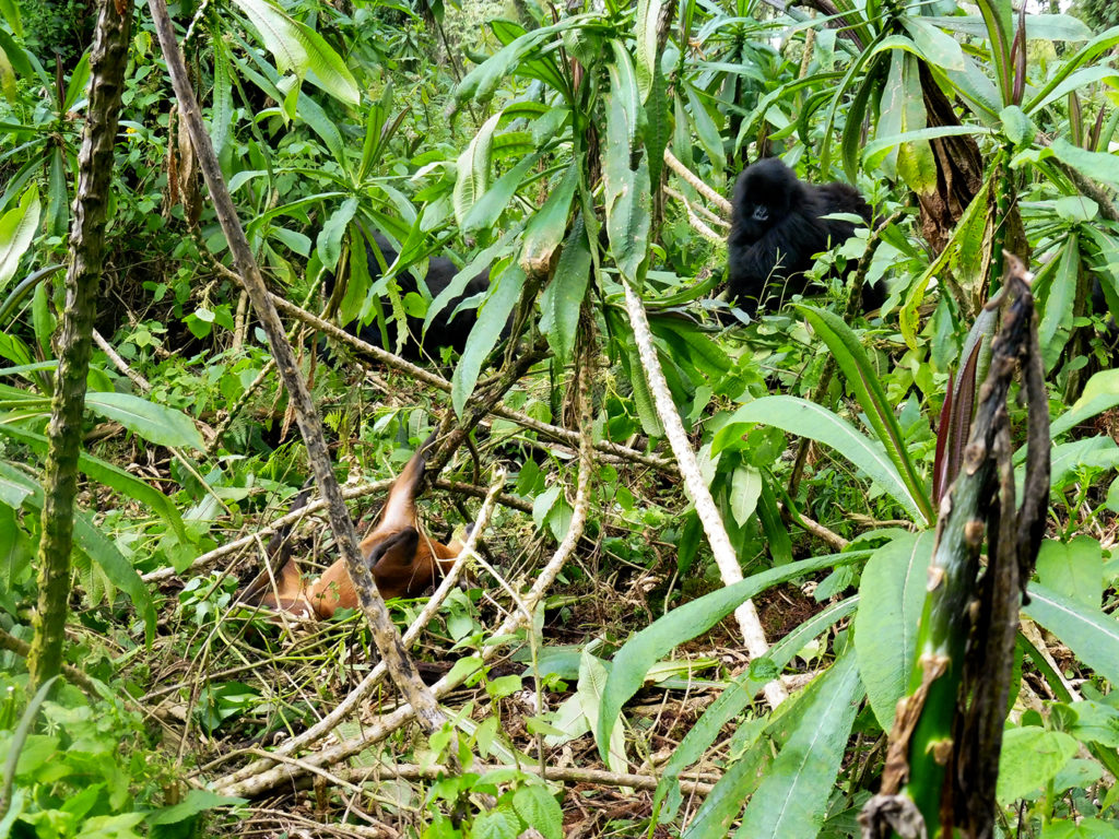 Duker and Gorilla Fossey Fund
