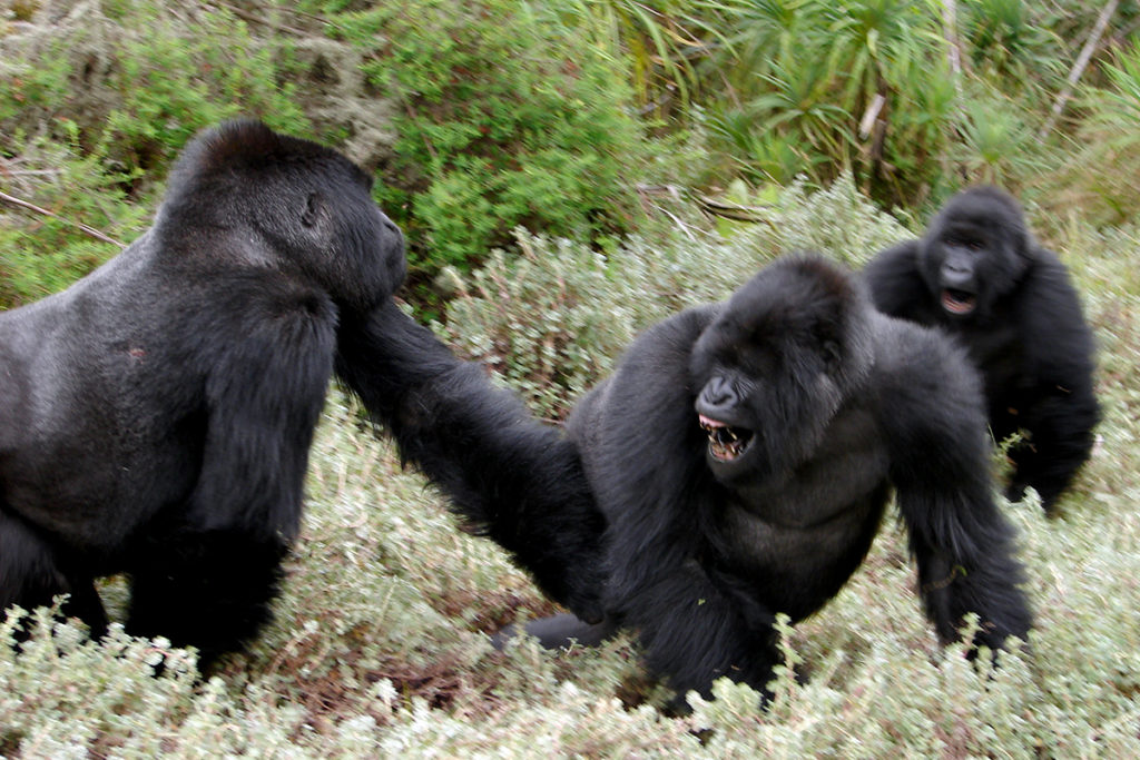 new studies on gorilla stress and fighting dian fossey