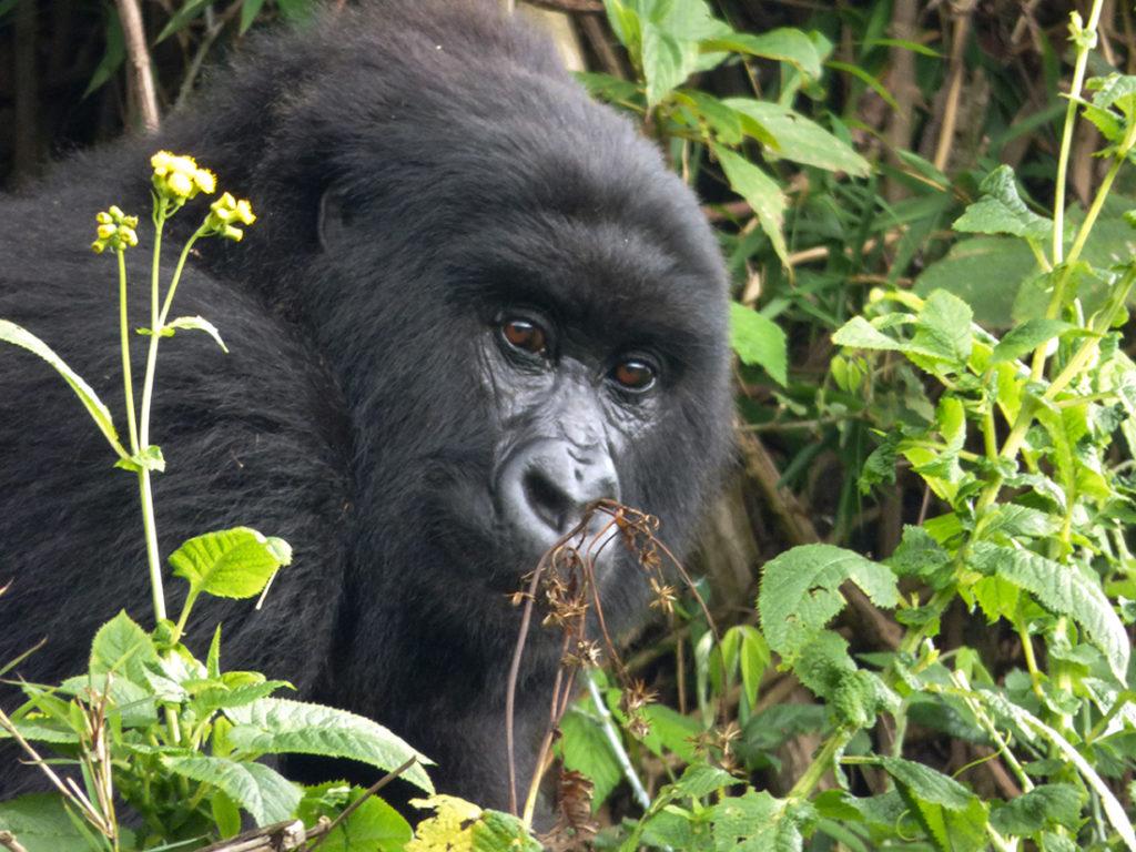 Unidentified female from Ntambara's group