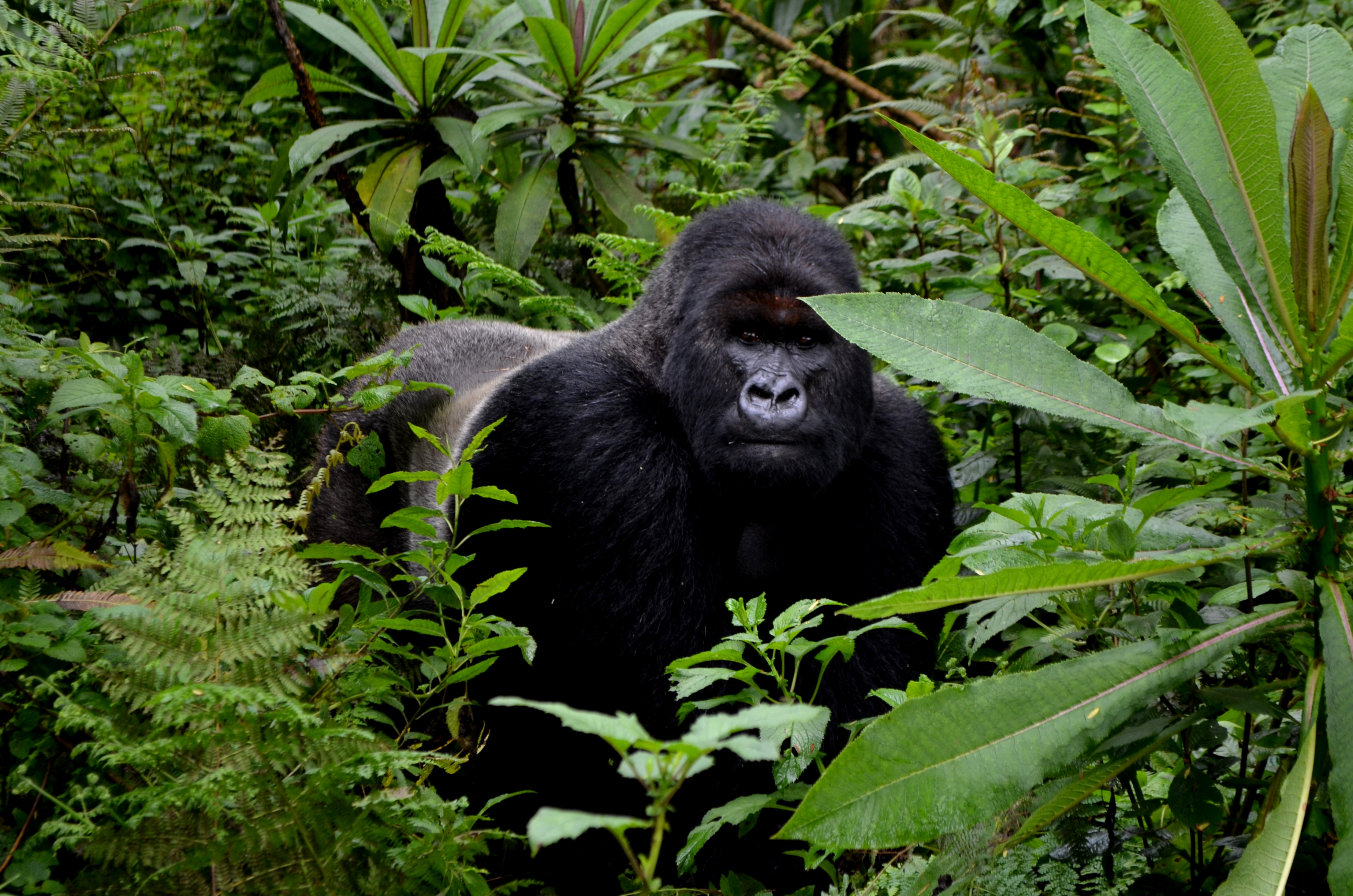gorilla trackers meet up with lone silverback inshuti