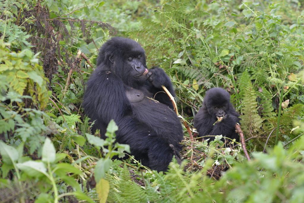 Mountain Gorilla Population Still Increasing Census Results