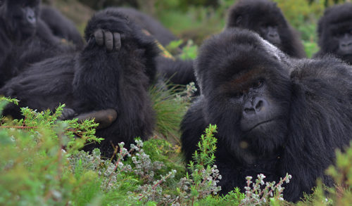 Dating site for gorillas