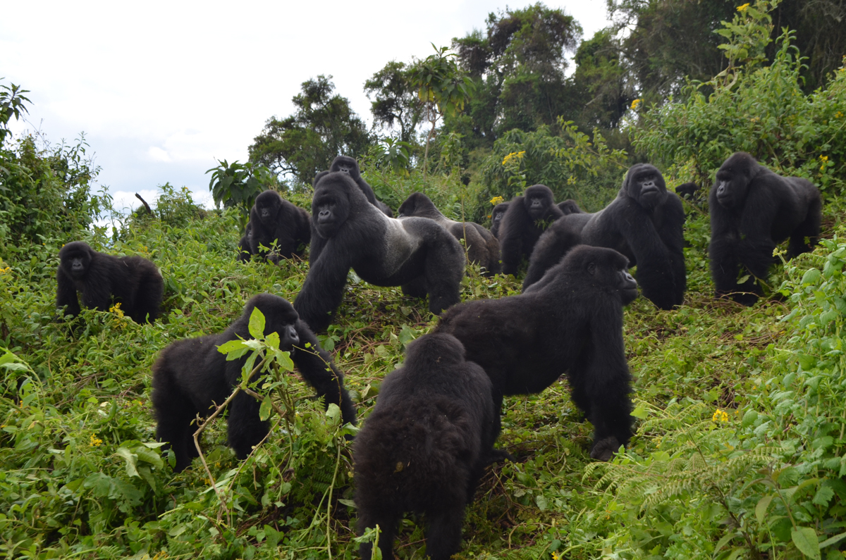 Mountain gorilla: From tragedy to fragile success | Dian Fossey