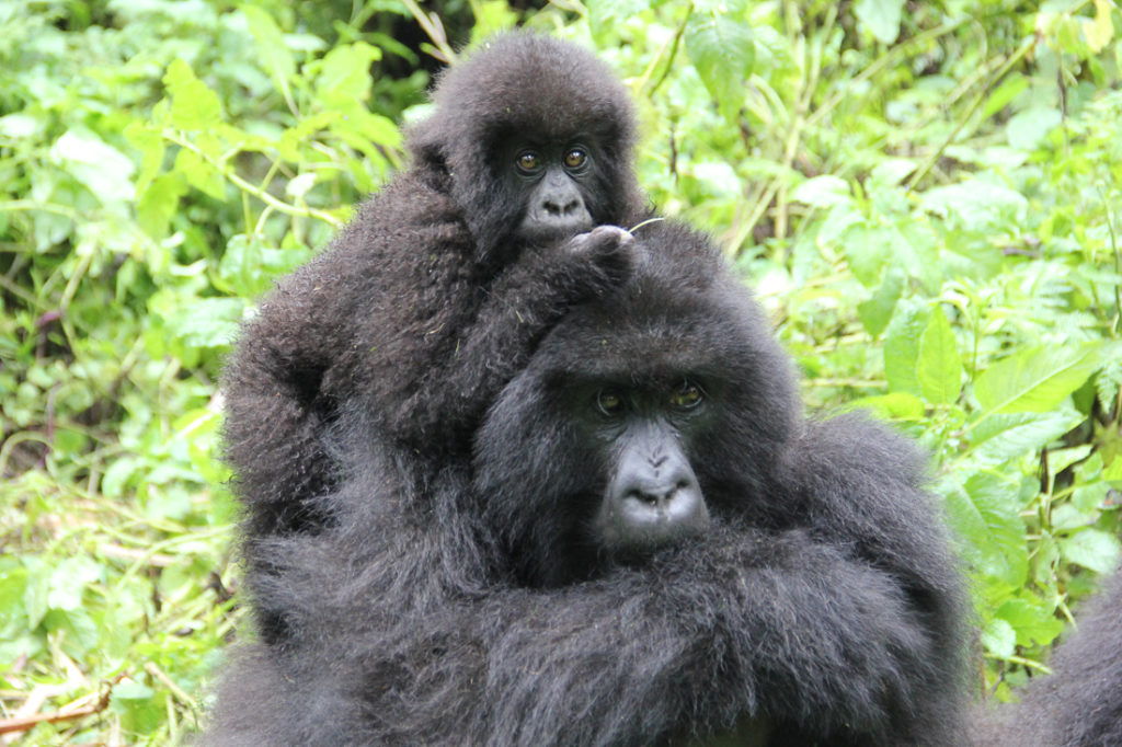 Gorilla Mothers No Need For Help Thank You Dian Fossey