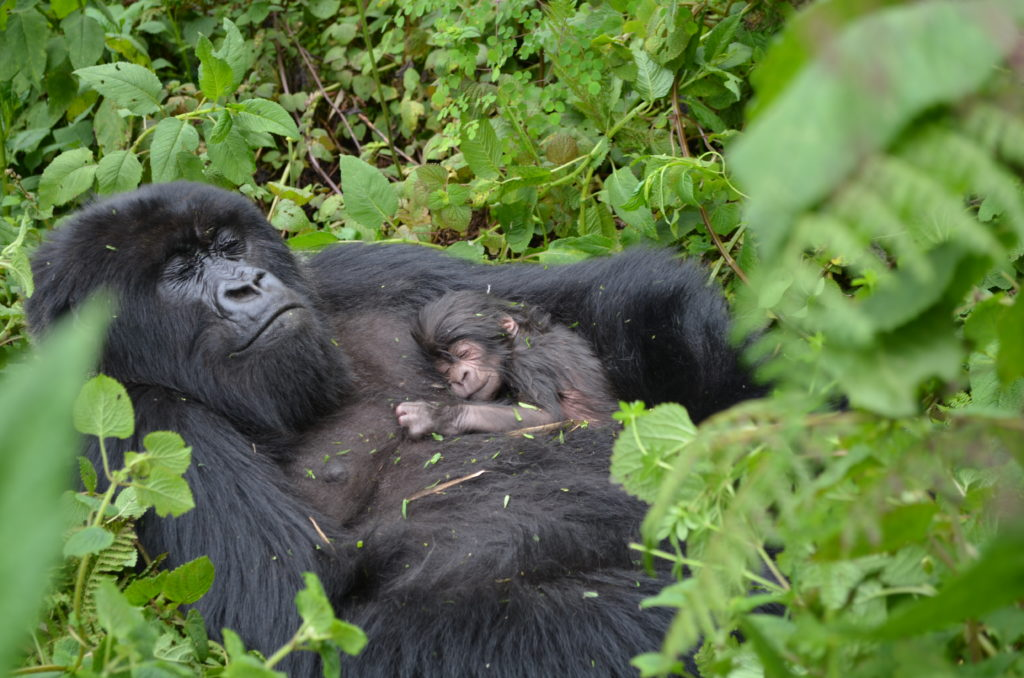 Infant Gorillas mother and infant gorilla